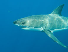 this is a photo of a shark